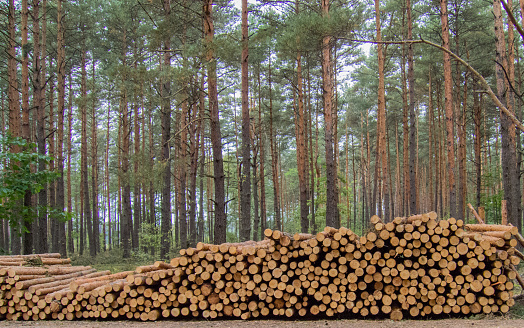 Pine logs lying in the forest.