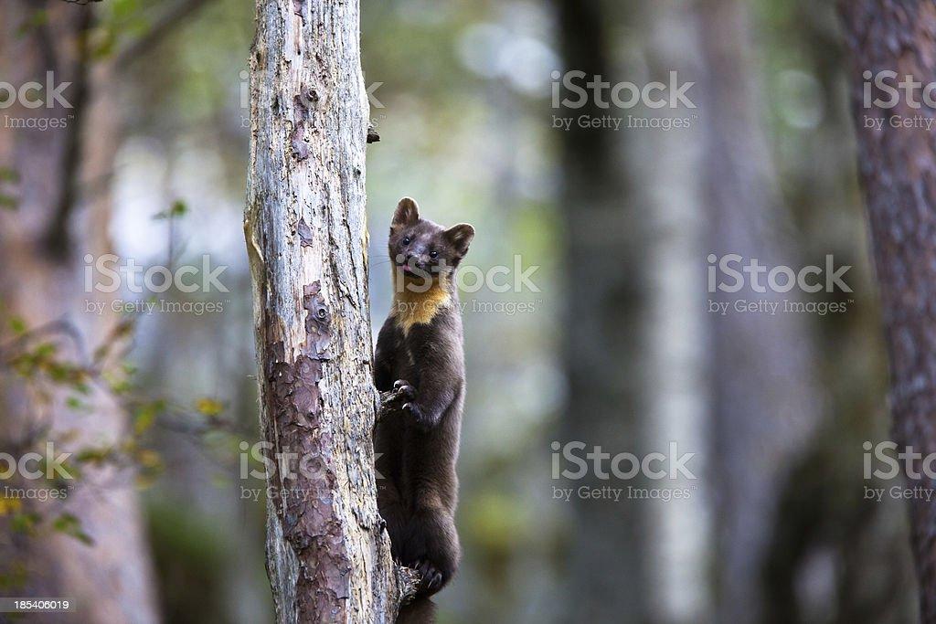 Baummarder Klettern einen Baum – Foto