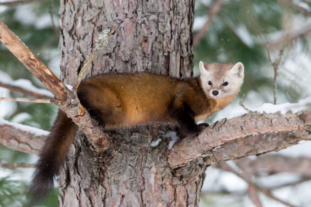 Pine Marten in a Pine Tree stock photo