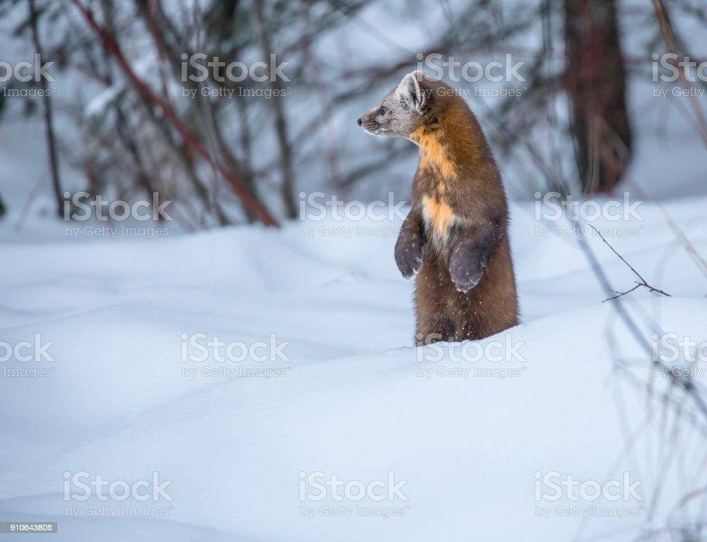 Baummarder im Schnee – Foto