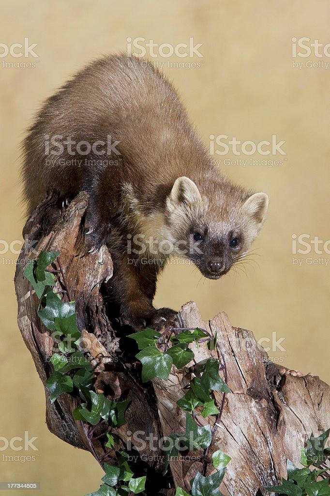 Baummarder auf log – Foto
