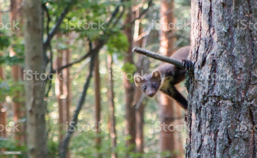 Baummarder auf dem Ast eines Baumes – Foto