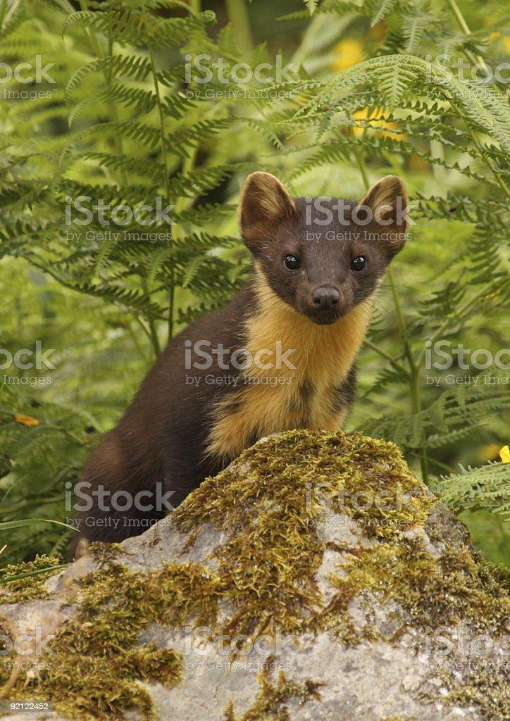 Baummarder sitzt auf feuchtmoosigen Felsen – Foto