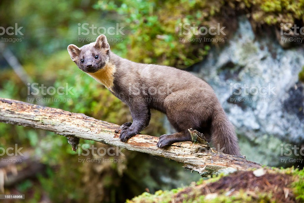 Pine marten standing on tree trunk stock photo