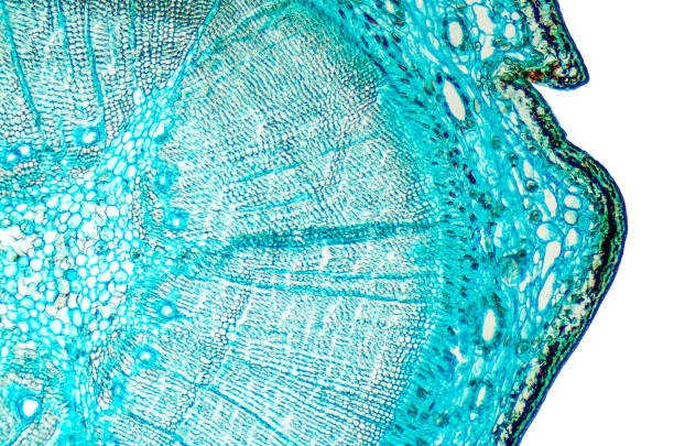 Pine mature wood cross section under microscope Pine mature wood cross section. Light microscope slide with microsection of an evergreen conifer in the genus Pinus. Plant anatomy. Biology. Photo. microscopic image stock pictures, royalty-free photos & images