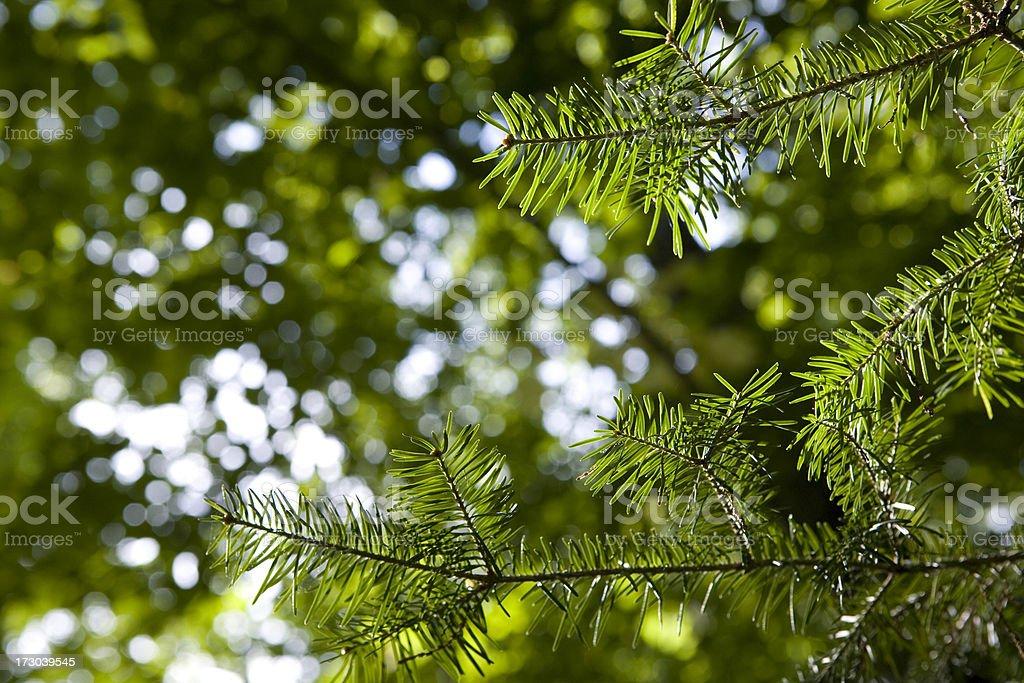 Pine Needle Border royalty-free stock photo