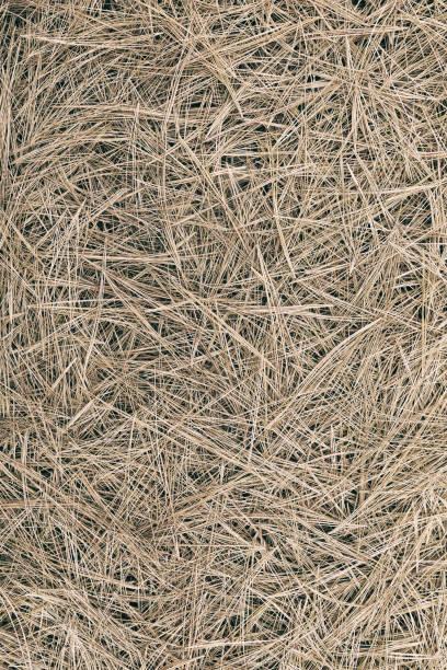 Pine needle straw background. Fall pattern stock photo