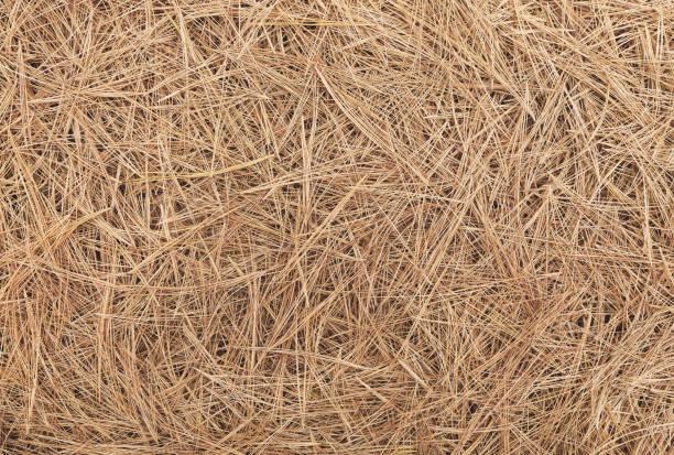 Pine needle straw background stock photo