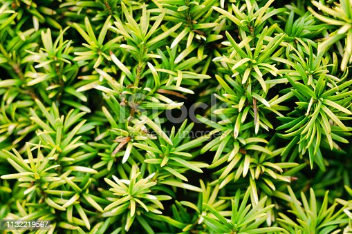 Close-up image of an evergreen pine yew  tree.  It is Springtime in the Scottish Highlands and all around parks and sidewalks, flowers are in bloom.  Here we see its pretty, strong smelling, bright green leaves.