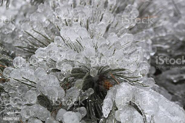 Photo of Pine needles after Freezing Rain Storm, Eastern Ontario, Canada
