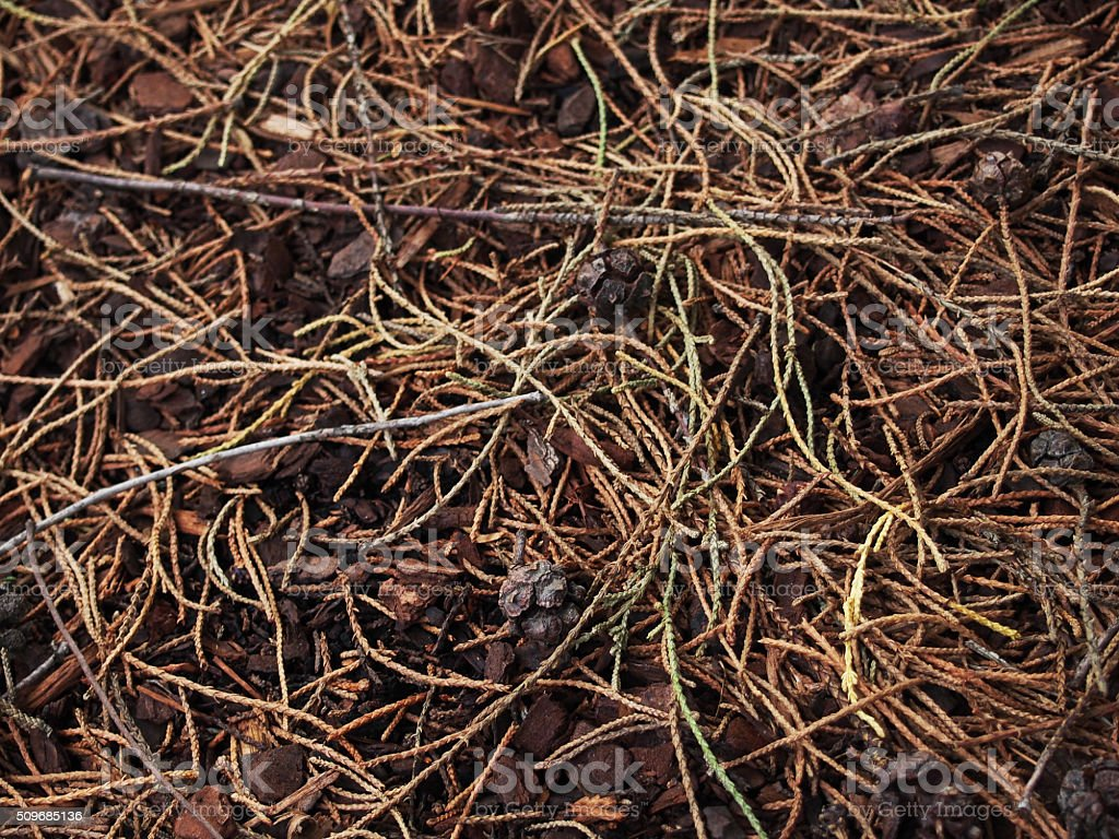 Pine needles and seed pods stock photo