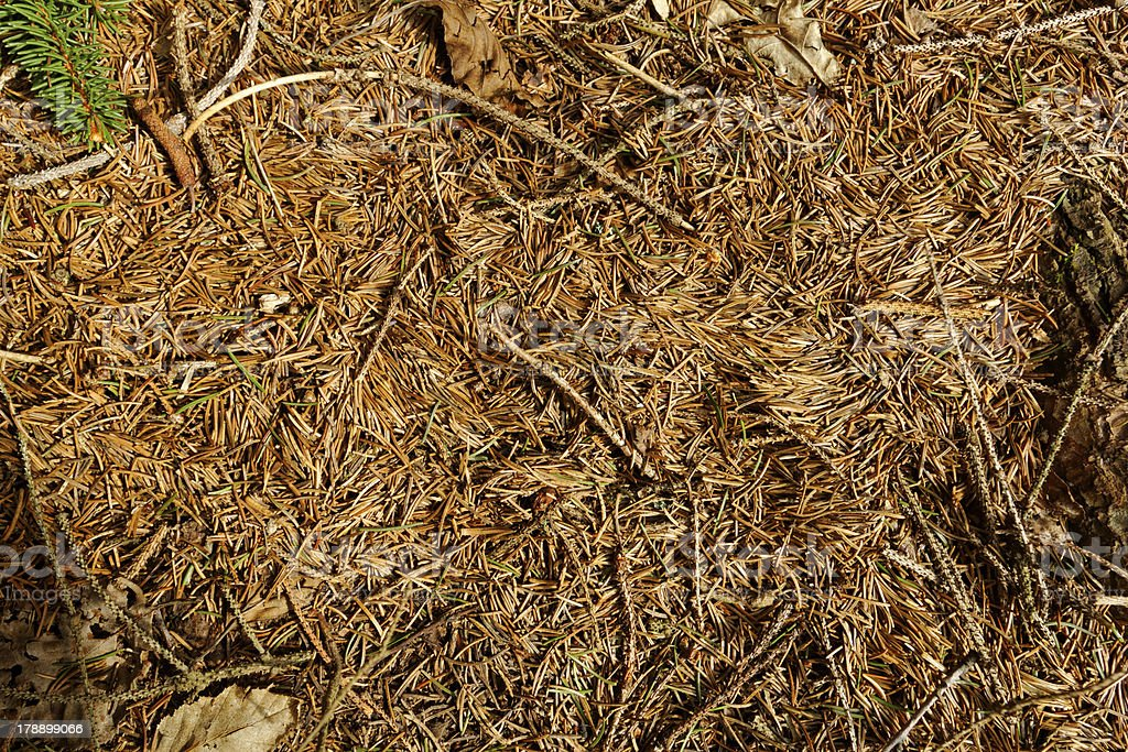 pine needles background royalty-free stock photo