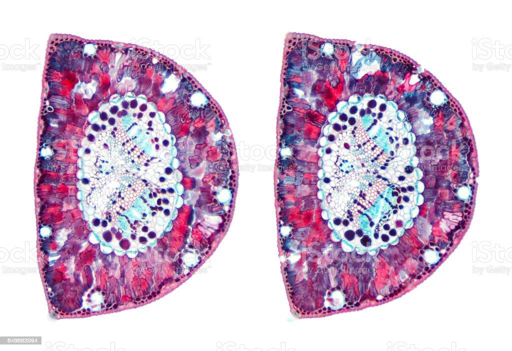 Pine needles cross section under light microscope stock photo