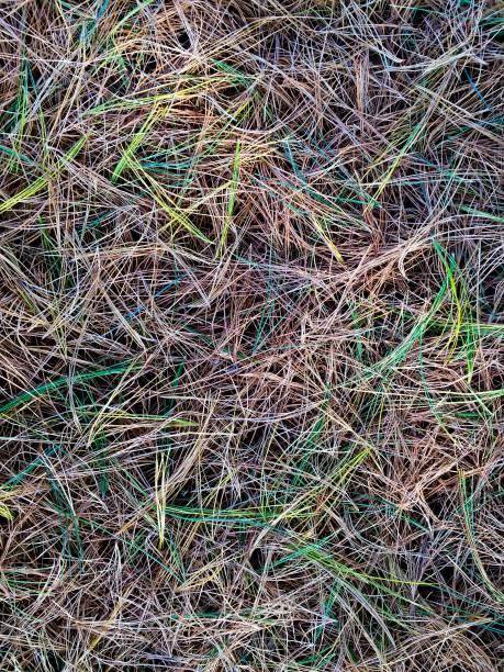 Pine Needles Fall stock photo