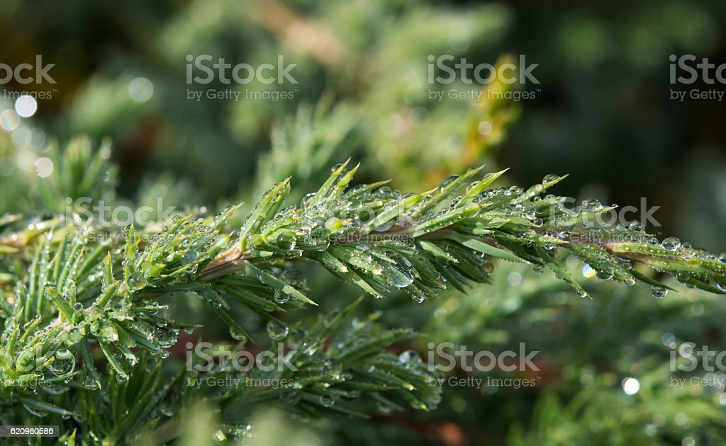 pine needles in drops of dew foto royalty-free