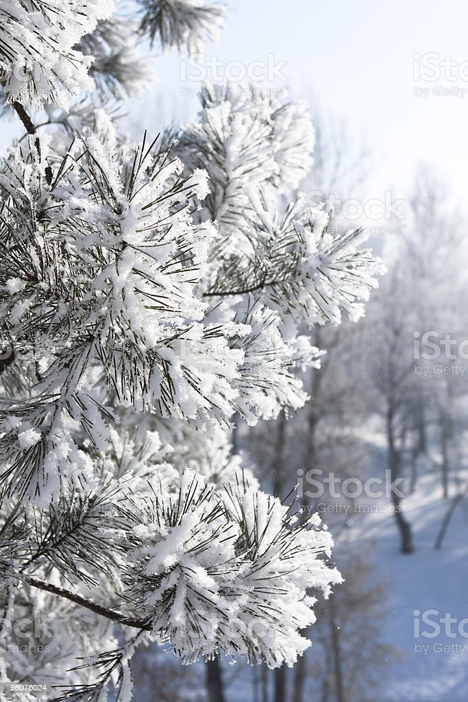 pine needles in the frost royalty-free stock photo