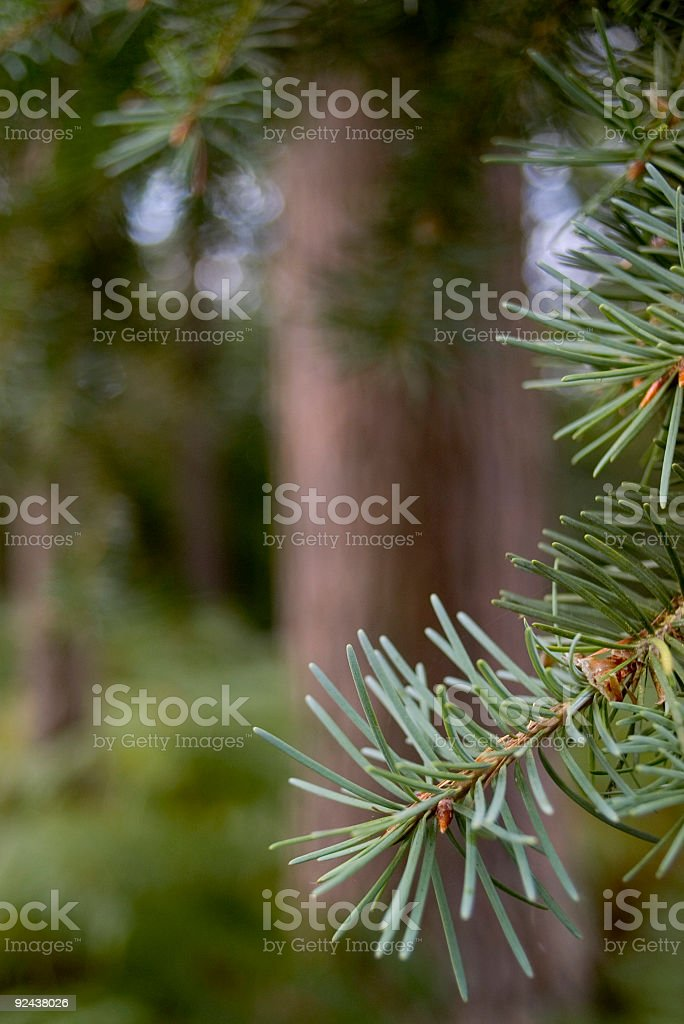 Pine needles in woods royalty-free stock photo