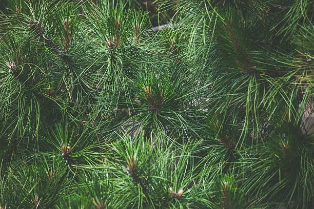 pine needles - foto de stock