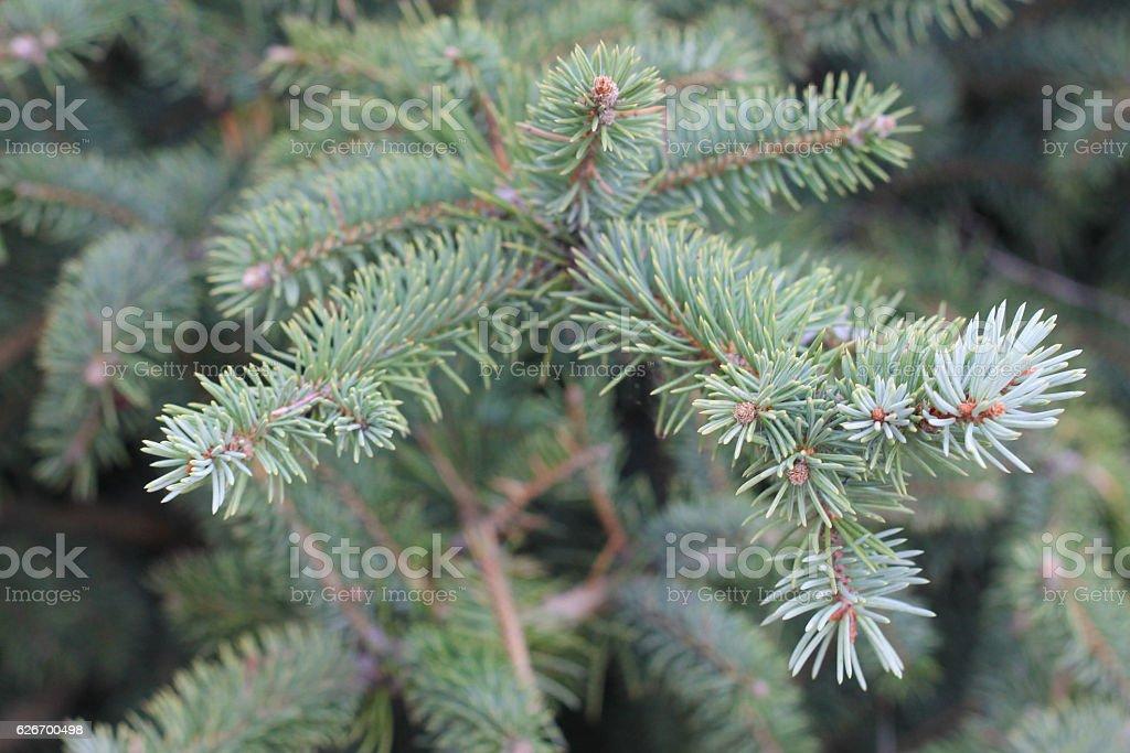 Pine Needles stock photo