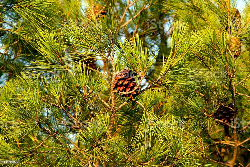 Pine nut royalty-free stock photo
