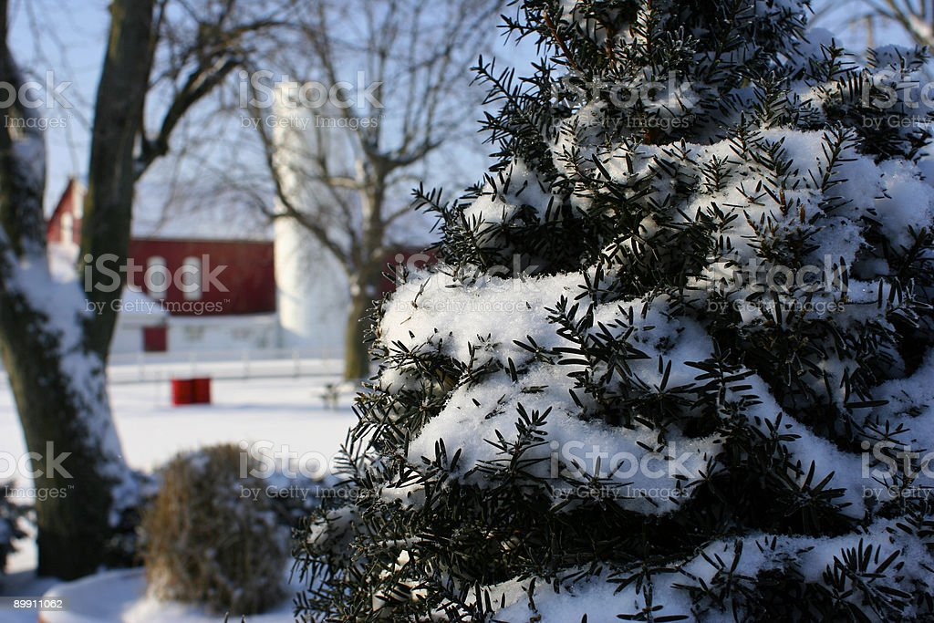 Pine on a farm royalty-free stock photo
