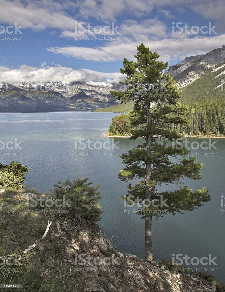 Pine on a hillside. royalty-free stock photo