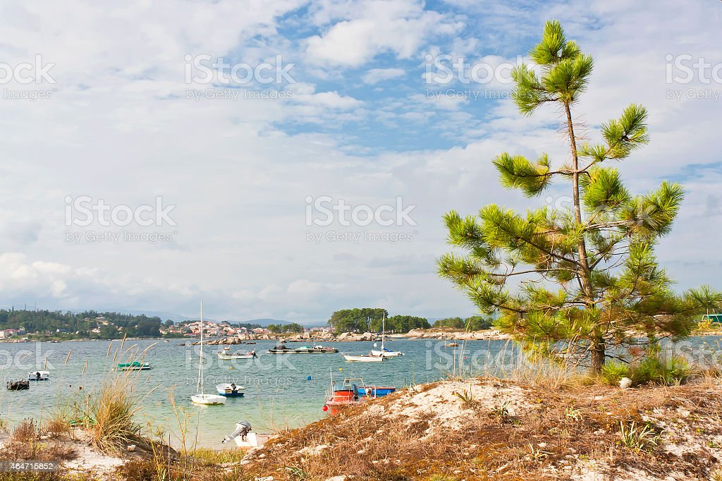 Pine on the coastal dune royalty-free stock photo