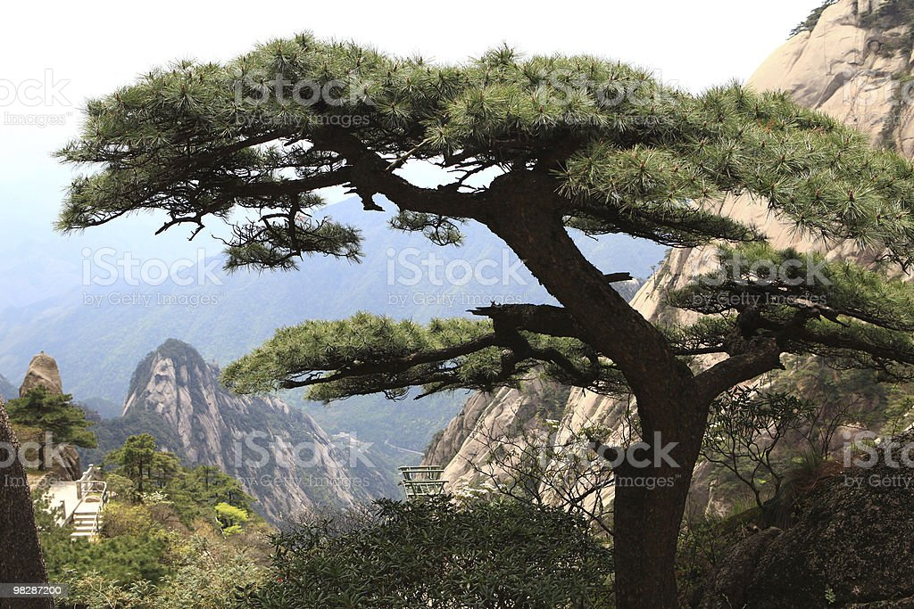Pine on the  Huangshan Mountains royalty-free stock photo