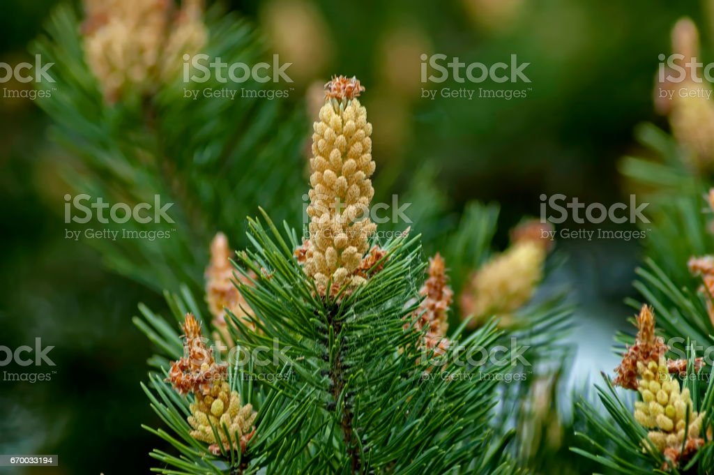 Pine or pinus tree branch with new tip in springtime stock photo