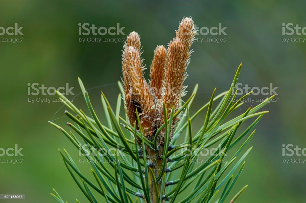 Pine or pinus tree branch with new tip in springtime, Plana mountain stock photo