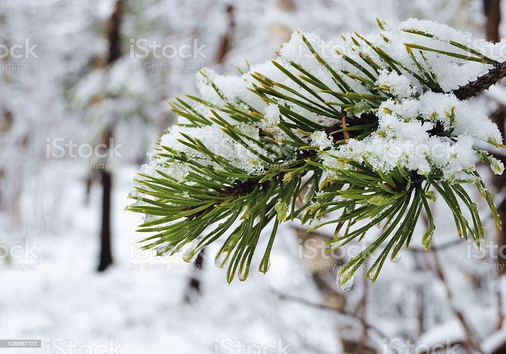 Pine royalty-free stock photo