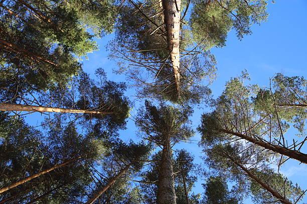 Pine – Foto
