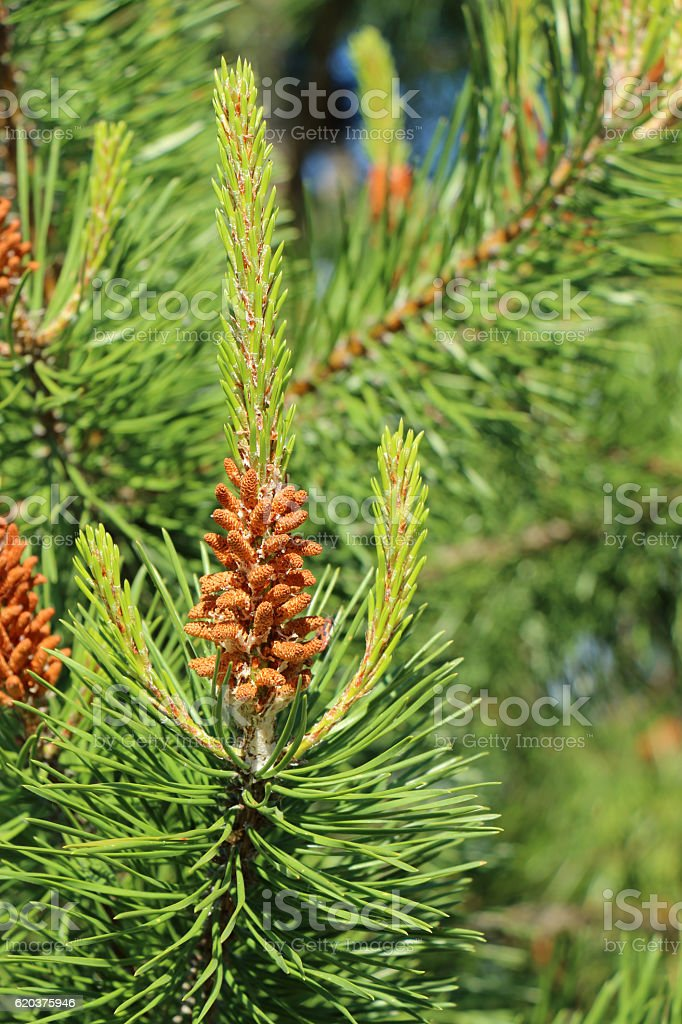 pine foto de stock royalty-free