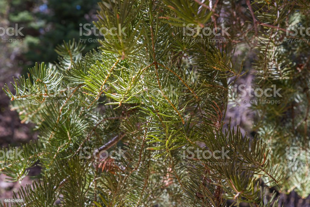 Pine Lizenzfreies stock-foto