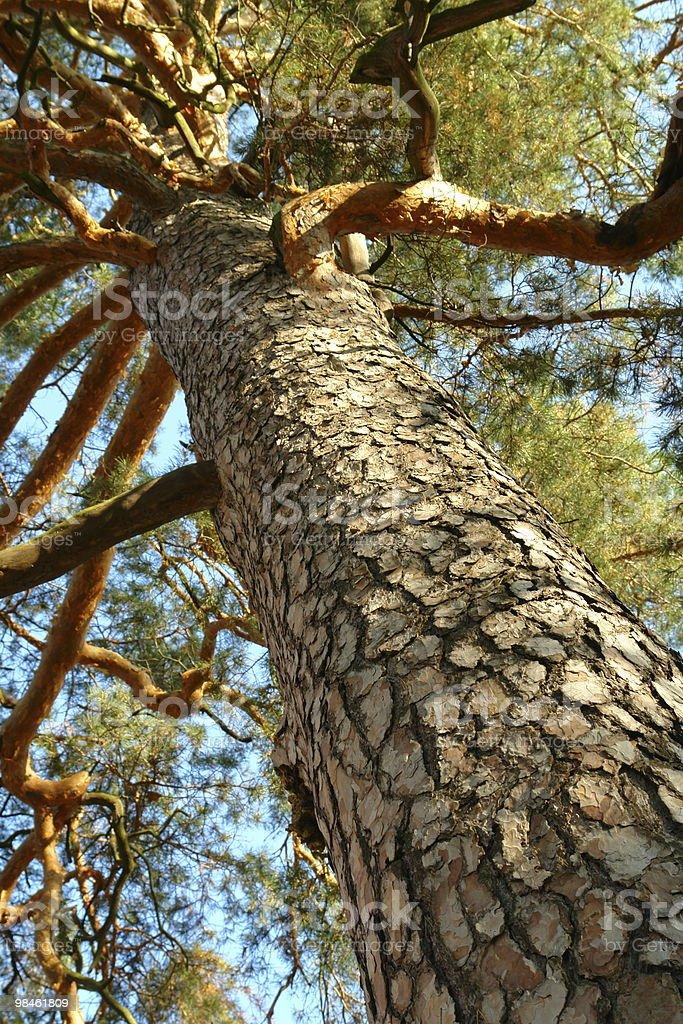 pine foto stock royalty-free