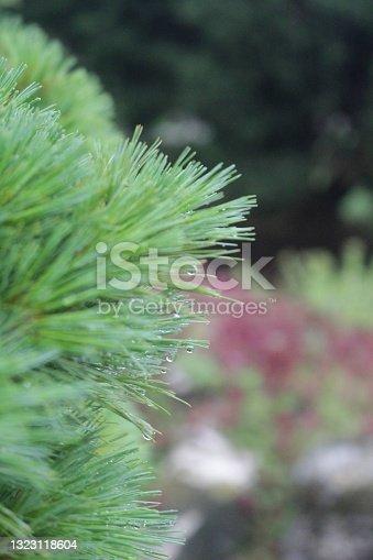 Spring pines