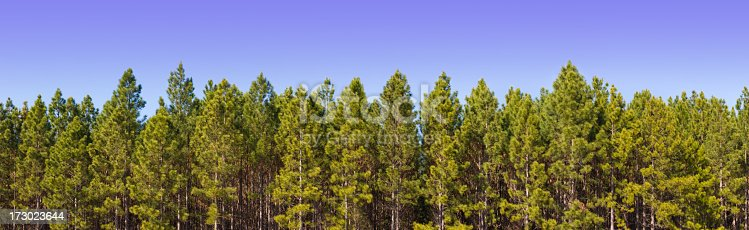 23594 x 7248. An ultra-high resolution stitched panorama of a pine plantation.