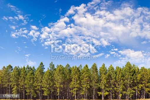 15000 x 10000 pixels. A pine plantation beneath a bright blue sky. This is a multi-frame composite and is suitable for printing extremely large.