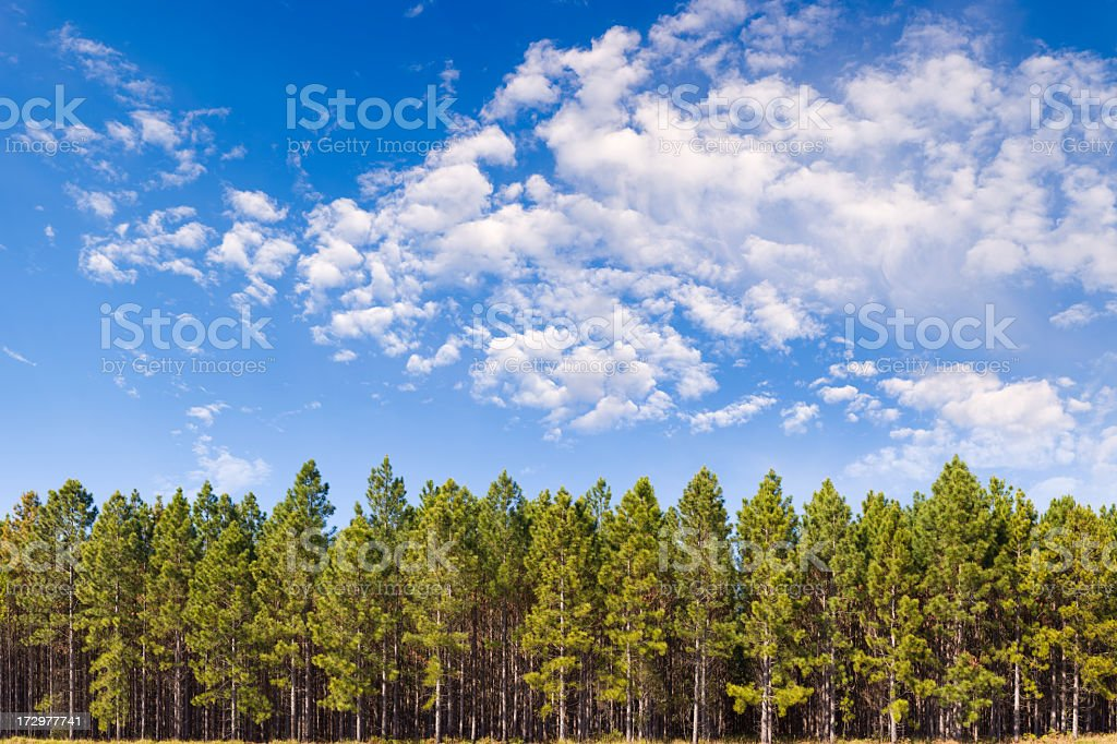 Pine Plantation XXL - 150 Megapixel stock photo
