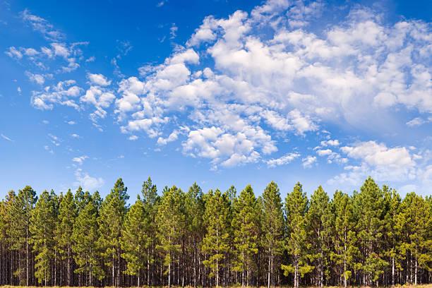 pine plantation xxl - 150 mégapixels - pin photos et images de collection