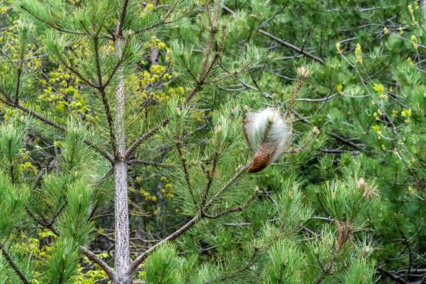 Pine processionary web on pine trees stock photo