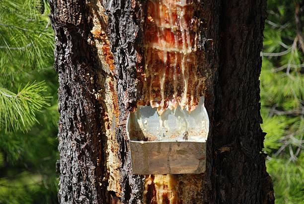 Pine resin container, Greece stock photo