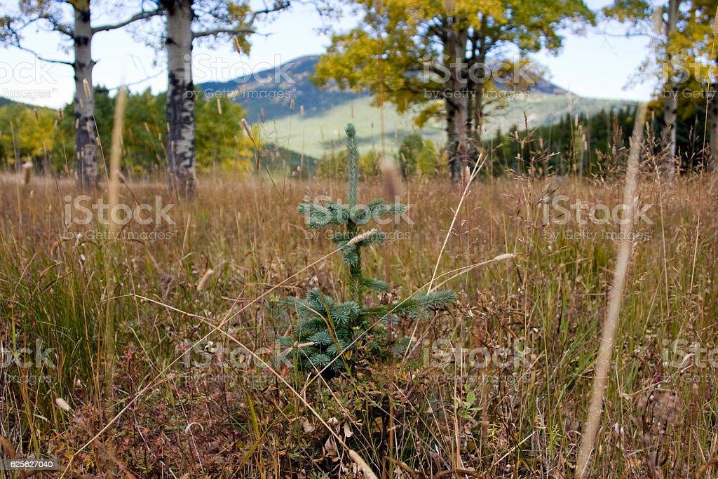 Pine Sapling stock photo