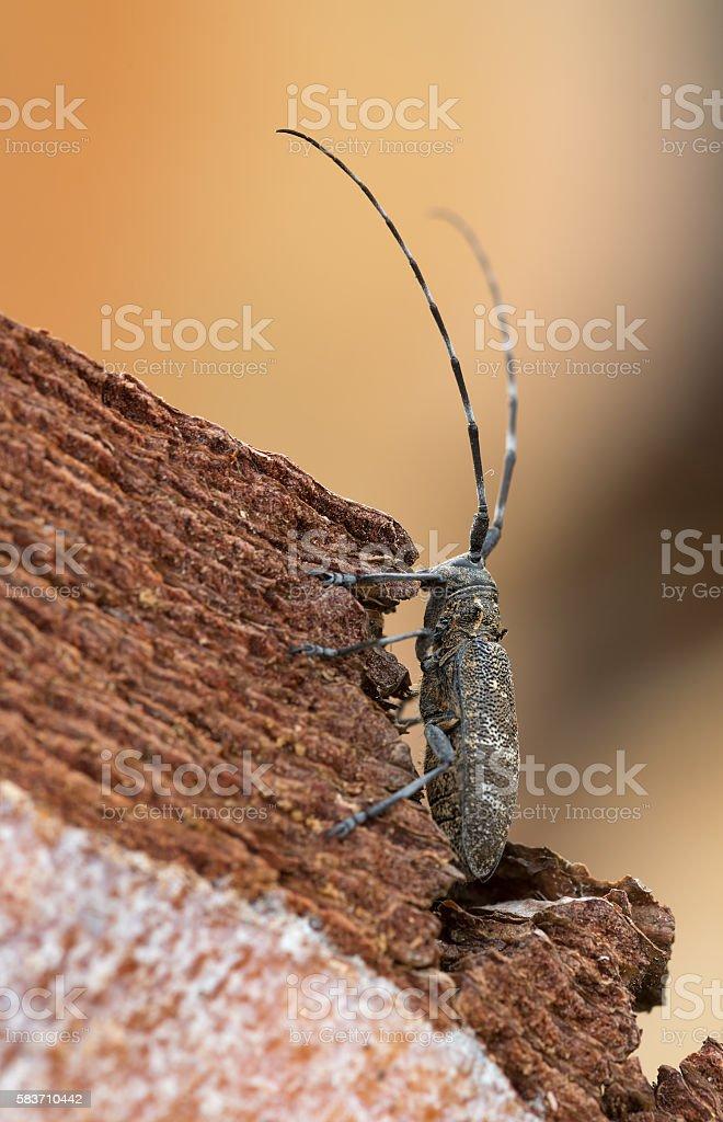 Pine sawyer, Monochamus sutor on pine wood stock photo