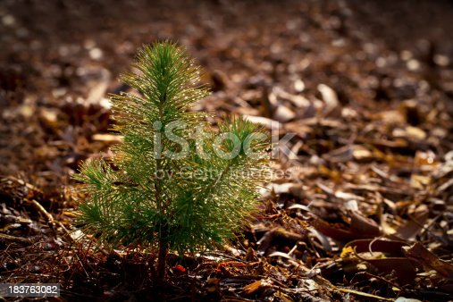 Pine Seedling in Forest