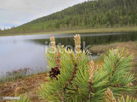 June Photo of pine seedlings with red female flowers (arctic circle, Torne Valley, Sweden)