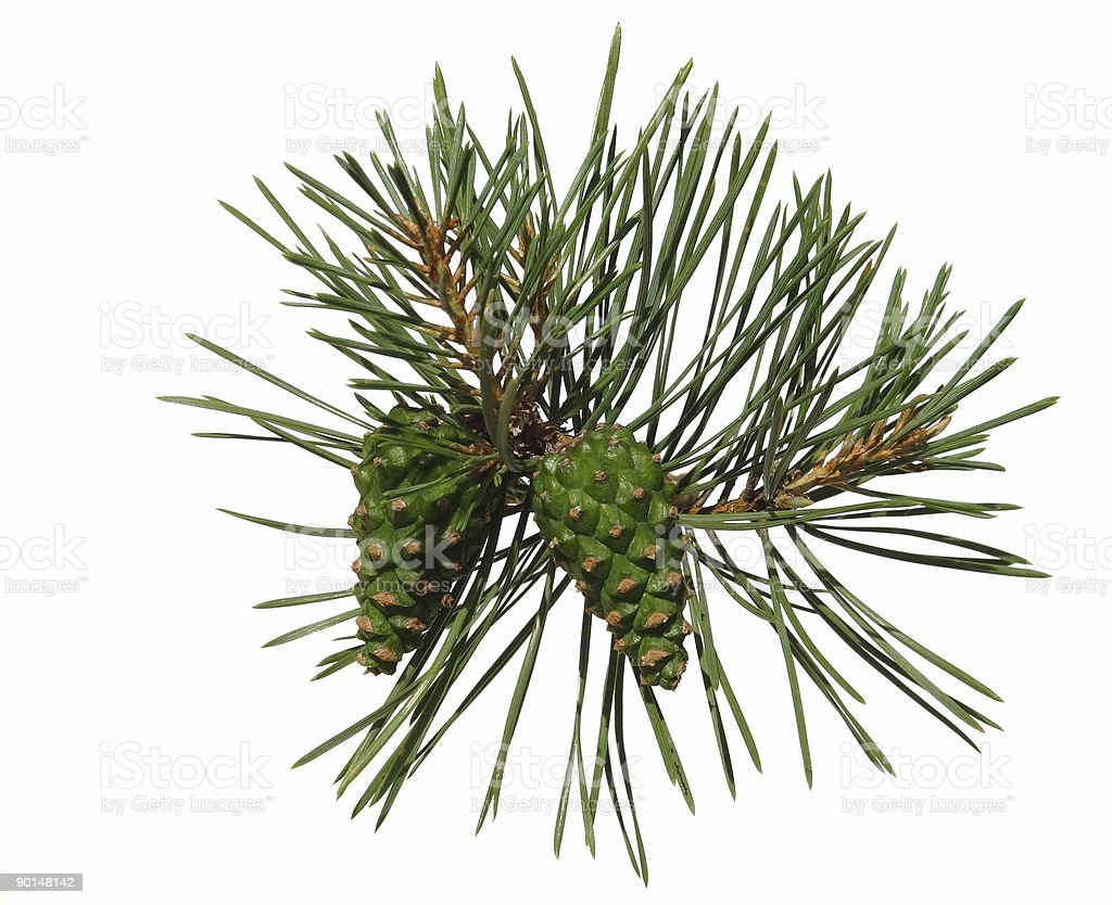 Pine shoot with two cones stock photo