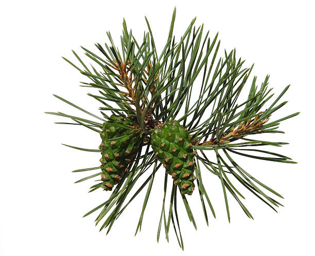 pine shoot with two cones - fur bildbanksfoton och bilder