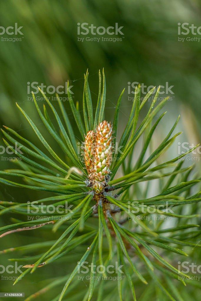 pine shoots close-ups stock photo