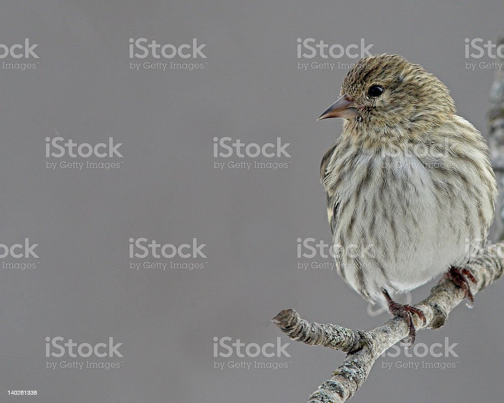 Pine Sisken stock photo